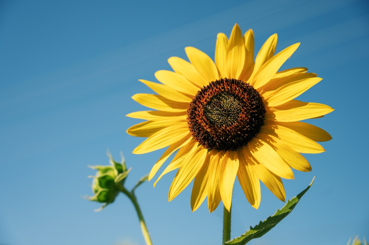 Sunflower representing growth generated from the Value Disciplines Model